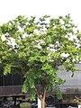Starr-090818-4463-Pterocarpus indicus-habit-Kihei-Maui (24946182606).jpg