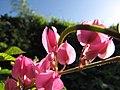 Starr-100113-1219-Antigonon leptopus-flowers-Waihee-Maui (24711219920).jpg