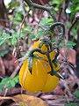 Starr-110215-1032-Solanum lycopersicum-yellow pear fruit-KiHana Nursery Kihei-Maui (24707582769).jpg