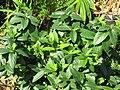 Starr-110215-1188-Lonicera japonica-habit-KiHana Nursery Kihei-Maui (24982482581).jpg