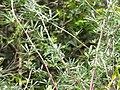 Starr-120522-6699-Lupinus sp-leaves-Iao-Maui (25025881002).jpg