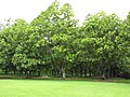 Starr-120606-6994-Artocarpus altilis-fruiting habit-Kahanu Gardens Hana-Maui (25051360671).jpg