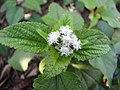 Starr-130320-3256-Ageratum conyzoides-flowers white and leaves-Mokolea Pt Kilauea Pt NWR-Kauai (25181667816).jpg