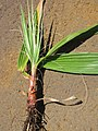 Starr-130617-4869-Washingtonia robusta-seedling-Kealia Pond NWR-Maui (24585246003).jpg