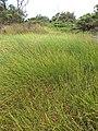 Starr-130703-5560-Cyperus laevigatus-patch-Kealia Pond-Maui (24588696784).jpg