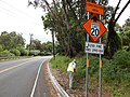Starr-140624-0775-Delairea odorata-habit with Kim doing ant surveys State roads-Kekaulike Ave Kula-Maui (25243464915).jpg