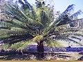 Starr-150327-0189-Cycas circinalis-old FWS photo-Town Sand Island-Midway Atoll (25174524281).jpg