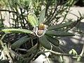 Starr-170208-6796-Portulaca villosa-seed capsules-Maui Nui Botanical Garden Kahului-Maui (32997770350).jpg