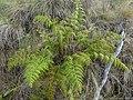 Starr-180305-0611-Odontosoria chinensis-habit-Kahikinui-Maui (26364108147).jpg