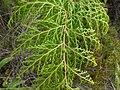 Starr-180305-0612-Odontosoria chinensis-frond-Kahikinui-Maui (26364111027).jpg