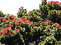 Starr-180305-0919-Metrosideros polymorpha-lots of flowers with apapane sipping nectar and vocalizing-Kahikinui-Maui (40522626184).jpg
