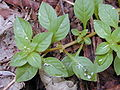 Starr 020813-0013 Ludwigia palustris.jpg