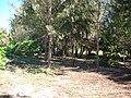 Starr 050211-3986 Casuarina equisetifolia.jpg