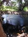 Starr 061214-2488 Casuarina equisetifolia.jpg
