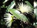 Starr 070328-6166 Syzygium jambos.jpg