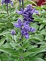 Starr 070906-8641 Salvia farinacea.jpg