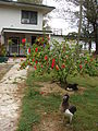 Starr 080607-7085 Hibiscus rosa-sinensis.jpg