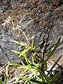 Starr 081014-0241 Schiedea haleakalensis.jpg
