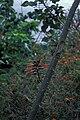 Starr 980529-4210 Erythrina sp..jpg
