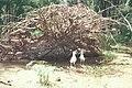 Starr 990514-0724 Casuarina equisetifolia.jpg