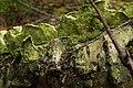 Stegasaurus Fungus (2919995139).jpg