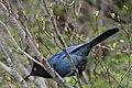 Stellers Jay (Cyanocitta Stelleri) (9357665535).jpg