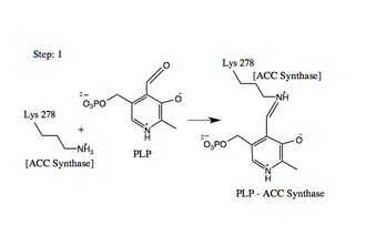 1-aminocyclopropane-1-carboxylate synthase - Formation of the ACS-PLP Schiff Base.