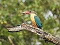 Stork billed kingfisher-kannur-kattampally - 19.jpg