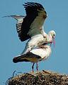 Stork in love.jpg