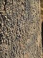 Strychnos spinosa (bark).jpg