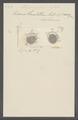 Stylonychia mytilus - - Print - Iconographia Zoologica - Special Collections University of Amsterdam - UBAINV0274 113 18 0005.tif