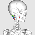 Suboccipital triangle04.png