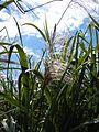 Sugarcane flowering.JPG