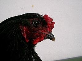 Waarom zijn zwarte hanen zo groot