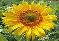 Sunflower 2009 07 23 4401.jpg