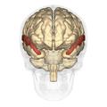 Superior temporal gyrus anterior.png