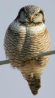 Northern hawk-owl species of bird
