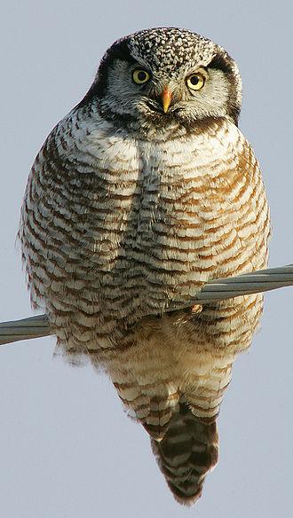 Northern hawk-owl - Image: Surnia ulula 002