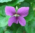 Sweet violet.jpg