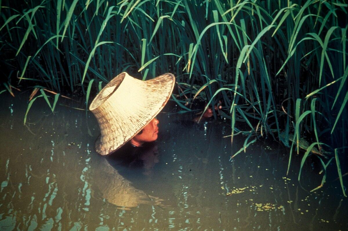 Deepwater rice - Wikipedia