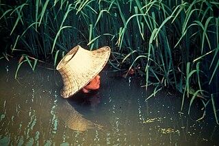 Deepwater rice