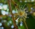 Syzygium cumini (5228729410).jpg