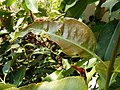 Syzygium leaf herbivory 2.jpg