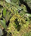 Syzygium zeylanicum 12.JPG