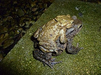 Dowdeswell Reservoir - Common Toad (male and female pair) on 2013 migration to Dowdeswell Reservoir