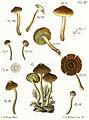 Tab4-Agaricus croceus Schaeff.jpg