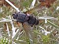 Tachinidae - July 2012.jpg