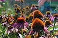 Tagged Monarch Butterfly on Purple Cone Flower (20117616454).jpg