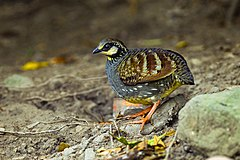Taiwan partridge (Arborophila crudigularis).jpg