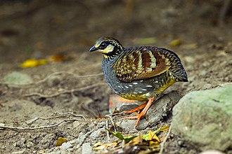 Taiwan partridge - Image: Taiwan partridge (Arborophila crudigularis)